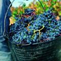 La Pinot Noir estrena la vendimia en Viñas del Vero