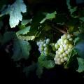 Las mil y una formas de participar en la vendimia de la Ruta del Vino de Rueda, http://globalstylus.com/