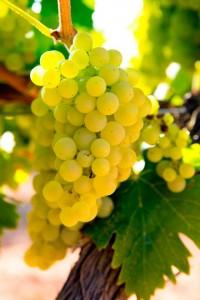 Un Chardonnay para todo un menú. Vera de Estenas Viñedos y Bodegas