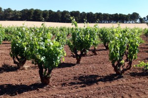 La DO Valencia pone en marcha un estudio para catalogar sus viñedos singulares, proyecto de zonificación de su viñedo