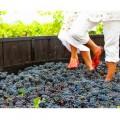 Ven a vendimiar y pisar las uvas