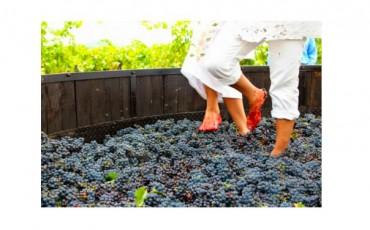 ¡Ven a vendimiar y pisar las uvas¡