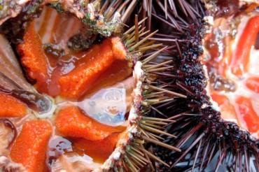 Un viaje sensorial a través de los erizos de mar
