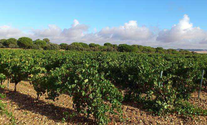 Nuevo record de uva cosechada en la DO Rueda