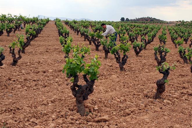 El Pago Vera de Estenas presenta el Merlot Martínez Bermell, primer vino de esta Denominación de Origen