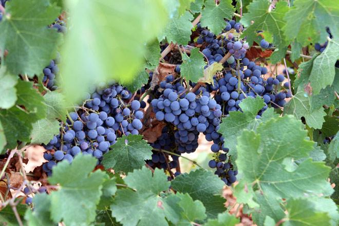 vides y uvas Utiel-Requena