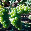 Uva de la variedad Godello en Quiroga, Ribeira Sacra. StylusVinum.