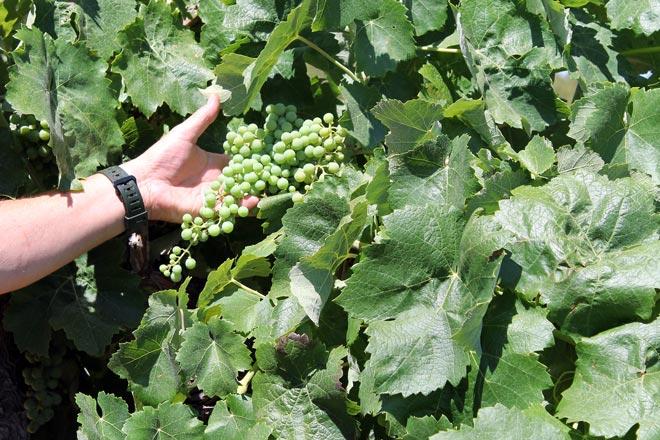 El vino de la dieta mediterránea. Alboenea, Bodegas José Vicente Pardo