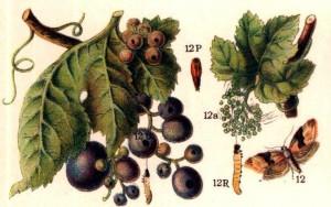 La polilla del racimo y la yesca centran la Jornada de Viticultura de Utiel-Requena
