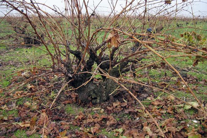 Un sustituto del sulfuroso a partir de restos de la viña gana The Vine Science Award 2016