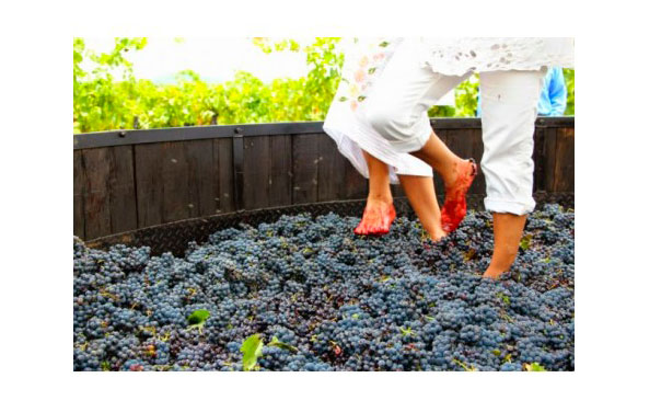 Annual grape harvest and stomping tour in Valencian vineyards