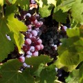 Las varietales prefiloxéricas revolucionarán el vino español, Familia Torres