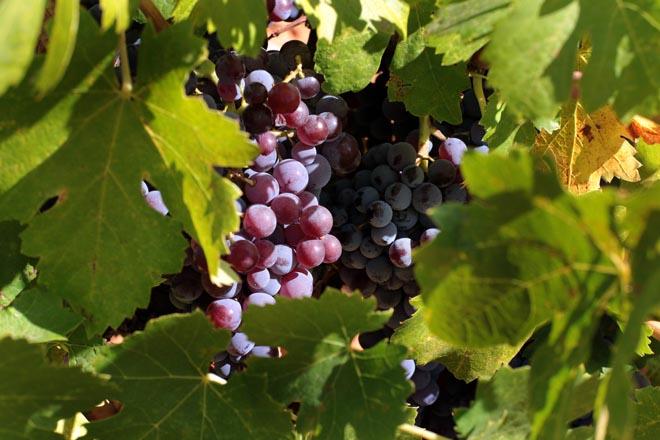 Las varietales prefiloxéricas revolucionarán el vino español