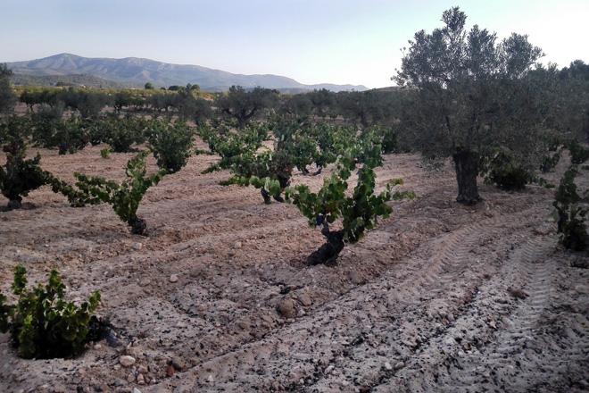 Alicante afronta el reto de identificar sus varietales minoritarias