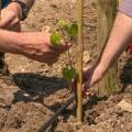 Masos inicia su andadura con la plantación de un viñedo en Guadalest