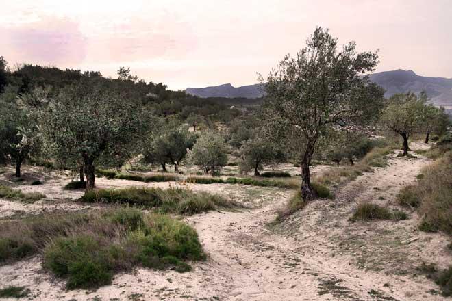 Un laboratorio español crea un test para la detección temprana de Xylella fastidiosa ASCIRES Sistemas Genómicos