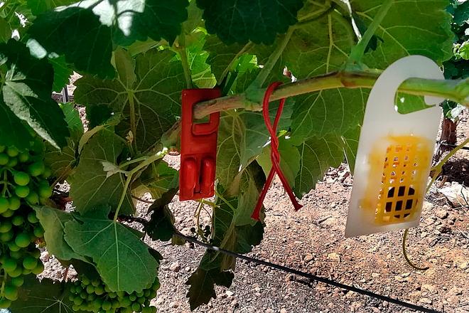 Viticultura de precisión y biodiversidad en la Jornada Vitivinícola de Utiel-Requena