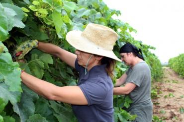 Pago de Tharsys inicia la Vendimia 2019 con las uvas de Chardonnay para Cava