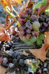 Sofía Noble, Bodega De Moya. Dulces uvas de Botrytis