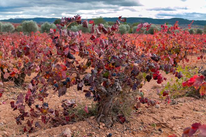 #ValoraBobal selecciona 100 biotipos y tres zonas climáticas en Utiel-Requena