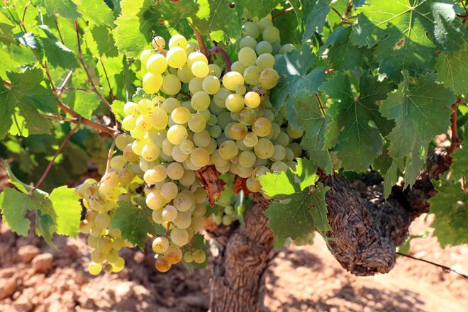 Racimo de Moscatel, DO Valencia, Foto: GlobalStylus.com