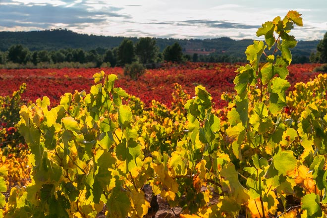 La viticultura ecológica de Utiel-Requena crece un 47% en cuatro años